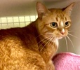 A picture of #ET03161: Sunny Bunny a Domestic Short Hair orange