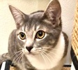 A picture of #ET03164: Juano a Domestic Short Hair gray/white