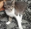 [picture of Juano, a Domestic Short Hair gray/white cat]