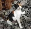 A picture of #ET03165: Juileta a Domestic Short Hair calico