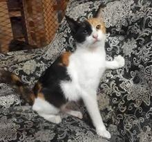 [picture of Juileta, a Domestic Short Hair calico\ cat]