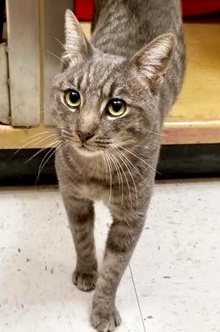[another picture of Merrill, a Domestic Short Hair silver tabby\ cat]