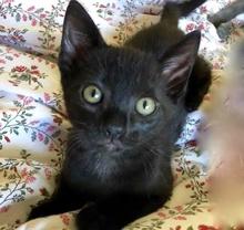 [picture of Jasper Black, a Domestic Short Hair black\ cat]