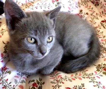 [picture of Maisy Blue, a Russian Blue Mix blue tabby\ cat]