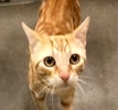 A picture of #ET03170: Richie Rich a Domestic Short Hair orange marble tabby
