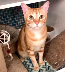[another picture of Richie Rich, a Domestic Short Hair orange marble tabby\ cat]