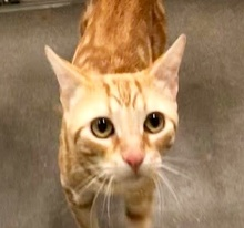 [picture of Richie Rich, a Domestic Short Hair orange marble tabby\ cat]