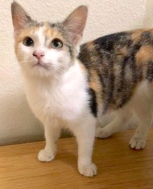 [another picture of Tinna, a Domestic Short Hair calico\ cat]