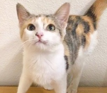 [picture of Tinna, a Domestic Short Hair calico\ cat]