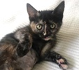 A picture of #ET03172: Pheobe a Domestic Short Hair torie