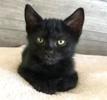 A picture of #ET03175: Salem a Domestic Short Hair black