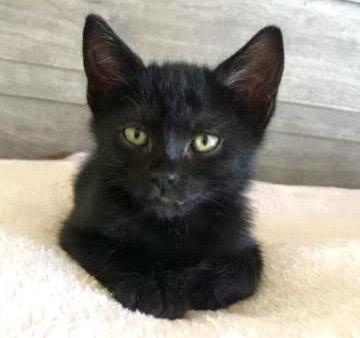 [picture of Salem, a Domestic Short Hair black\ cat]