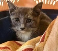 A picture of #ET03176: Everett a Domestic Short Hair blue/white