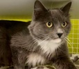 A picture of #ET03177: Rosara a Ragdoll Mix blue/white