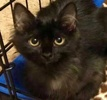 A picture of #ET03180: Marsha a Domestic Long Hair black