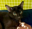 A picture of #ET03183: Peter a Domestic Short Hair black