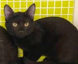 [another picture of Bobby, a Domestic Short Hair black\ cat]
