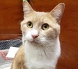 A picture of #ET03185: Kiko a Domestic Short Hair orange marble/white