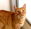 A picture of #ET03186: Elvis a Domestic Short Hair orane tabby