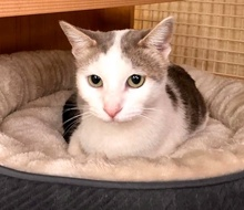 [another picture of Neely, a Turkish Van Mix white/gray\ cat]