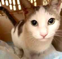 [picture of Neely, a Turkish Van Mix white/gray\ cat]