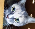 A picture of #ET03191: Organdy a Domestic Short Hair dilute calico