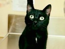 [picture of Lally, a Bombay Mix Black cat]