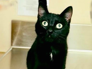 [picture of Lally, a Bombay Mix Black\ cat]