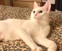 A picture of #ET03194: Snowbell a Turkish Van Mix white