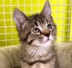 A picture of #ET03195: Kissy a Domestic Medium Hair gray tabby