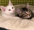 A picture of #ET03196: Crystal a Turkish Van Mix white/black