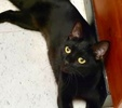 A picture of #ET03201: Quinever a Domestic Short Hair black