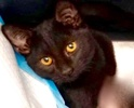 A picture of #ET03202: Quima a Domestic Short Hair black