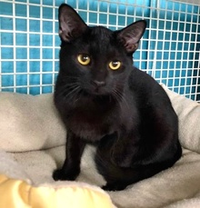 [another picture of Quarry, a Bombay Mix black\ cat]