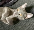 A picture of #ET03204: Equity a Russian Blue Mix blue