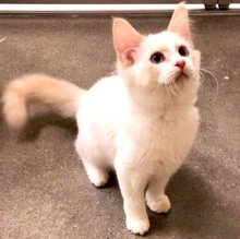 [another picture of Leche, a Ragdoll Mix flame point\ cat]
