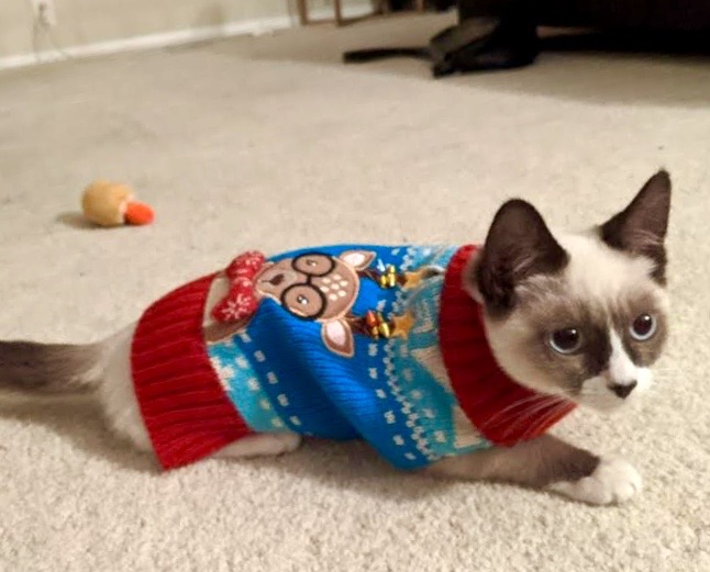 [picture of Alonso, a Siamese snowshoe\ cat]