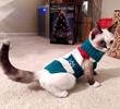 A picture of #ET03207: Coco a Siamese snowshoe