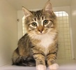 A picture of #ET03208: Calitos a Ragdoll Mix spotted tabby/white