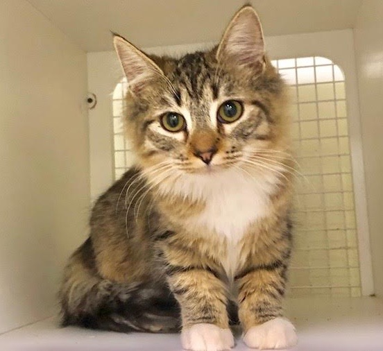 [picture of Calitos, a Ragdoll Mix spotted tabby/white\ cat]