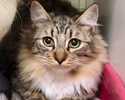 A picture of #ET03209: Carmenita a Ragdoll Mix spotted tabby/white