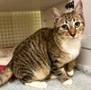 A picture of #ET03210: Basilillo a Domestic Short Hair spotted tabby/white