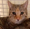 A picture of #ET03211: Basilina a Domestic Short Hair spotted tabby/white