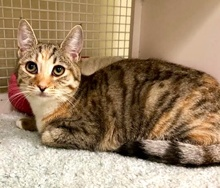 [another picture of Basilina, a Domestic Short Hair spotted tabby/white\ cat]