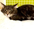 A picture of #ET03212: Flower a Domestic Short Hair slver
