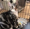 A picture of #ET03213: Stripe a Domestic Short Hair gray
