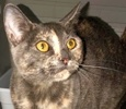 A picture of #ET03214: Painter a Domestic Short Hair tortie