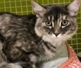 A picture of #ET03215: Fluffy a Maine Coon-x silver