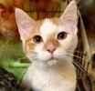 A picture of #ET03217: Hero a Domestic Short Hair white/orange