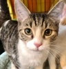 A picture of #ET03218: Hunter Tabby a Domestic Short Hair gray tabby/white
